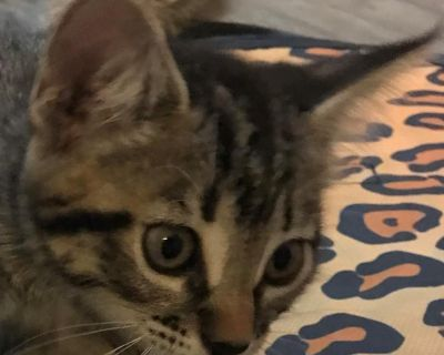 Ichiro Tanaka - Domestic Shorthair - Kitten Male