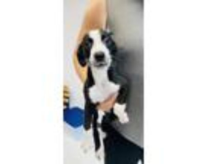 Adopt Holstein a Mixed Breed