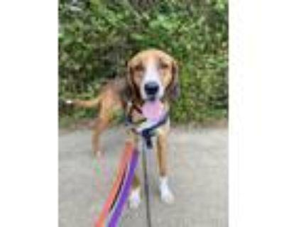 Adopt Flitchee a Hound (Unknown Type) / Mixed dog in Alexandria, VA (31328468)