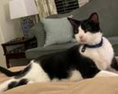 Adopt Fenway a Black & White or Tuxedo American Shorthair / Mixed (short coat)