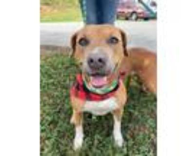 Adopt CADBURY a Tan/Yellow/Fawn Labrador Retriever / Mixed dog in Lincolnton
