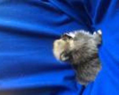 Tiny Teddy-Bear Face Pomeranian