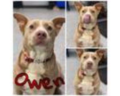Adopt Owen a Pit Bull Terrier