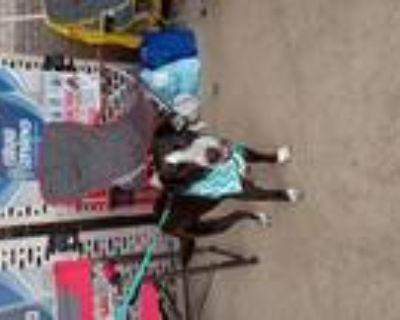 Adopt Murphette a Black - with White Labrador Retriever / Boston Terrier / Mixed