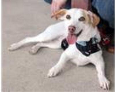 Adopt Moonie a Dachshund, Parson Russell Terrier
