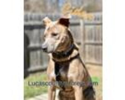 Adopt Cider a Pit Bull Terrier, American Staffordshire Terrier