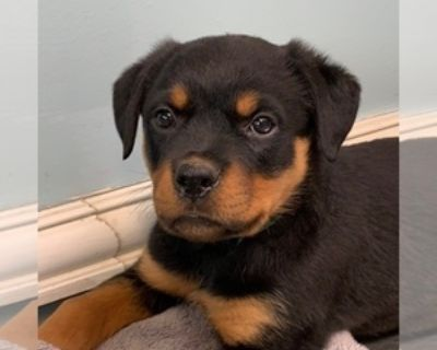 ROTTWEILER PUPPIES READY TO GO TO HOME SEPT