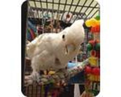 Shady, Cockatoo For Adoption In Northbrook, Illinois