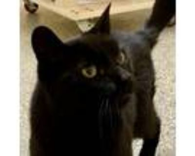 Adopt Inky a Domestic Short Hair