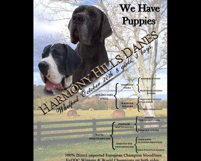 Great Dane Puppies - 100% Euro World Champion Bloodlines