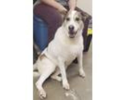 Adopt Tessa a White - with Brown or Chocolate Husky / Mixed dog in Amarillo