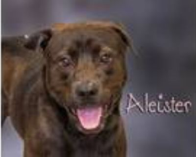 Adopt Aleister a Brown/Chocolate Labrador Retriever / Chow Chow / Mixed dog in
