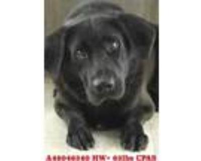Adopt Pitch a Black Labrador Retriever / Chow Chow / Mixed dog in Shreveport