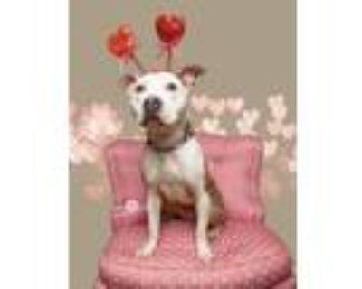 Adopt Carol Ann a Pit Bull Terrier, American Staffordshire Terrier