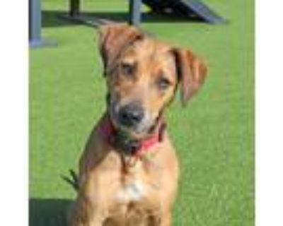 Adopt Canela a Brown/Chocolate Shepherd (Unknown Type) / Mixed dog in