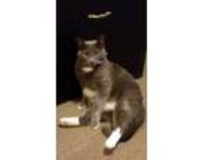 Adopt Milo a Gray or Blue (Mostly) Domestic Shorthair / Mixed (short coat) cat