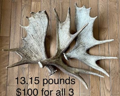 Moose antler sheds - 4 options / prices as marked