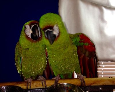 Pair of Severe Macaws