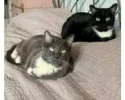 Adopt Gracie and Greta a Gray or Blue (Mostly) Domestic Shorthair / Mixed (short