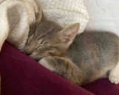 Adopt MANNY a Gray or Blue (Mostly) Domestic Shorthair / Mixed (short coat) cat