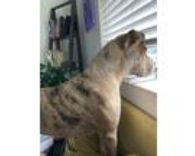 Adopt Stella a Merle American Staffordshire Terrier / Shar Pei / Mixed dog in