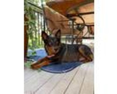 Adopt Lola a Black - with Tan, Yellow or Fawn Australian Kelpie dog in Denver