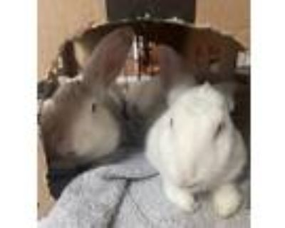Adopt Ashley a White Other/Unknown / Mixed (short coat) rabbit in Woburn