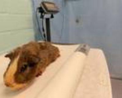 Adopt A5430509 a Guinea Pig