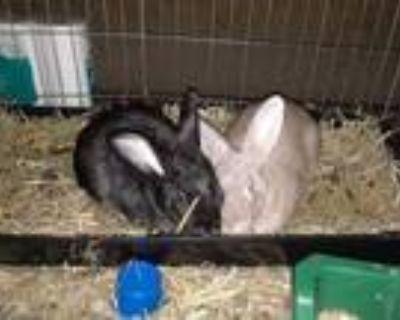 Adopt Sandy and Bunny a Bunny Rabbit