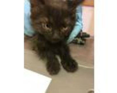 Adopt 48032898 a All Black Domestic Longhair / Domestic Shorthair / Mixed cat in