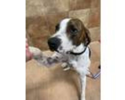 Adopt Remi a White - with Brown or Chocolate Hound (Unknown Type) / Mixed dog in
