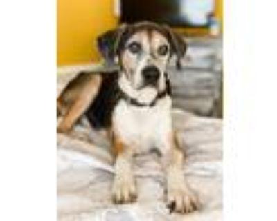 Adopt Clyde a Beagle, Boxer