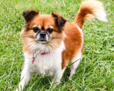 Chloe 11812 - Chihuahua/Papillon - Adult Female
