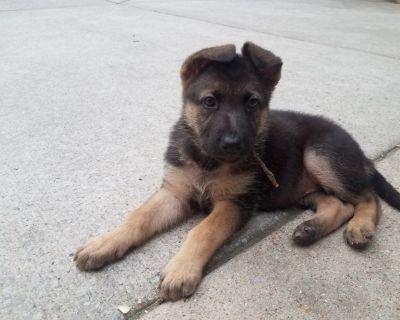 6 Week Female German Shepherd Puppy