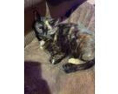 Adopt Boo a Domestic Shorthair / Mixed (short coat) cat in Morgantown
