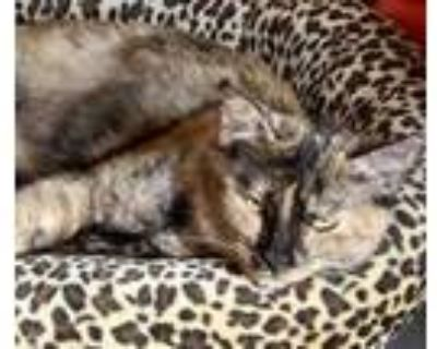 Adopt Mira a Orange or Red Domestic Shorthair / Domestic Shorthair / Mixed cat