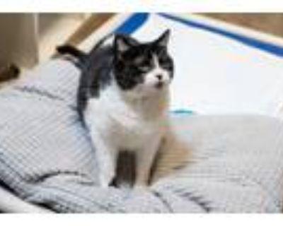 Adopt Eden a Black & White or Tuxedo Domestic Shorthair (short coat) cat in