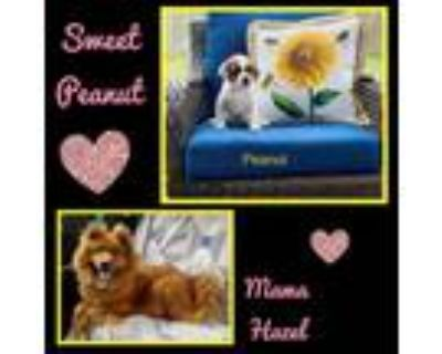 Adopt Peanut a White - with Tan, Yellow or Fawn Chow Chow / Mixed dog in El