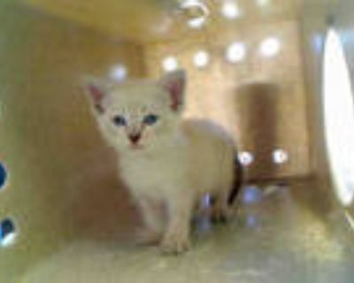 Adopt a White (Mostly) Domestic Shorthair / Mixed (short coat) cat in Gardena