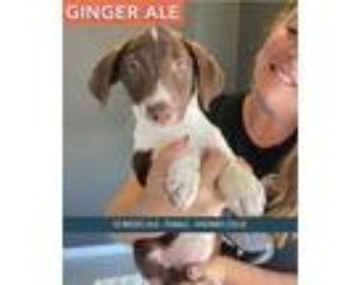 Adopt Ginger Ale a Collie