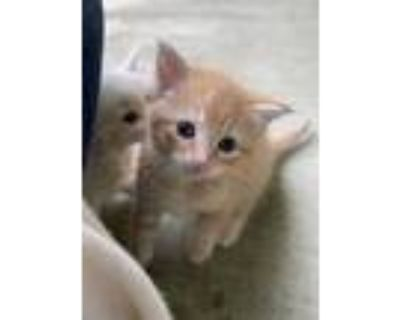Adopt Cheeto a Orange or Red Domestic Shorthair / Mixed cat in Bossier City