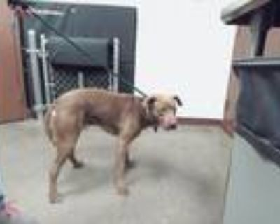 Adopt OSO a Labrador Retriever, Mixed Breed