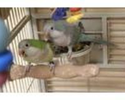 Adopt Quaker Parrot Blue a Blue Other/Unknown / Other/Unknown / Mixed bird in
