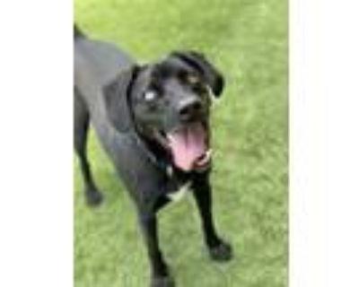 Adopt Finn (Fletcher) a Black Labrador Retriever / Mixed dog in Quincy