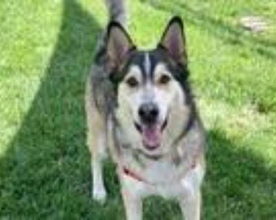 Adopt Riddic a Red/Golden/Orange/Chestnut Husky / Mixed dog in Boulder