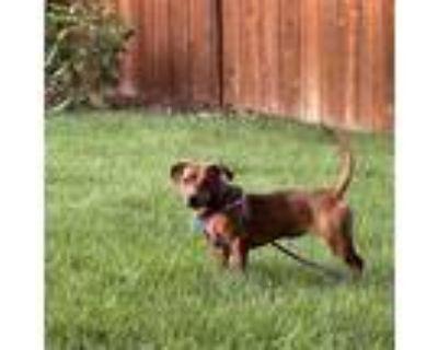 Adopt Georgia a Dachshund, Beagle