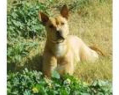 Adopt Romie a German Shepherd Dog, Basenji