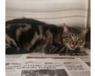 Adopt Robin a Domestic Shorthair / Mixed cat in LAFAYETTE, LA (31686126)