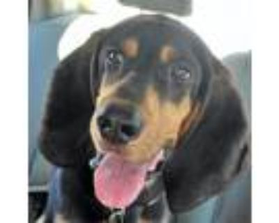 Adopt Acres a Black Black and Tan Coonhound / Mixed dog in Wichita