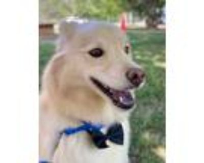 Adopt Finley a Tan/Yellow/Fawn Finnish Spitz / Mixed dog in Houston